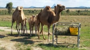 a group of camels